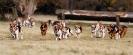 Foxhounds bei der Jagd