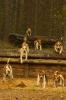 Foxhounds auf der Spur
