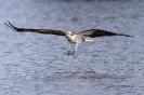 Fischadler bereitet Griff vor