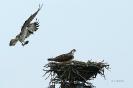 Fischadler bringt Futter für den Nachwuchs