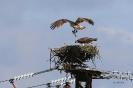 Fischadler landet mit Fisch