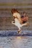 Fischadler mit Doppelfang