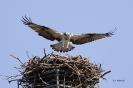 Fischadler vor Landung auf dem Horst