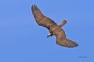 Fischadler vor Sturzflug