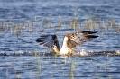 Fischadlers Wasserstart