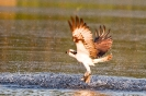 Fischadler erbeute 2 Karpfen mit einem Stoß