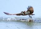 Fischadler greift vorbei