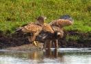 junge Seeadler am Wasser