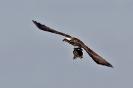 Fischadler mit Karpfen