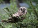 Junge Waldohreule