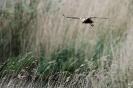 Rohrweihen-Weibchen, beutesuchend