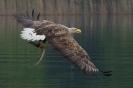 Seeadler: Aal fest im Griff