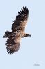 Seeadler  (Jungvogel)