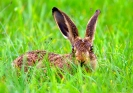 Angst-Hase