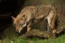 Luriger Wolf