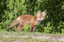 Junger Fuchs