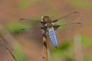 Plattbauch-Libelle (männlich)
