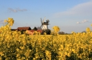 Windmühle und Raps