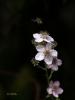 Brombeerblüte mit Biene