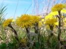 Huflattich - der Frühlingsbote