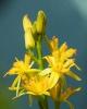 Beinbrech, Blume des Jahres 2011