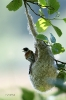 Beutelmeise am Nest