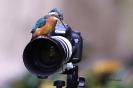 Eisvogel auf Kamera