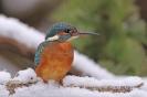 Eisvogel im Schnee