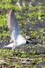 Flussregenpfeifer -Balzritual-