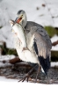 Graureiher fischt am Gartenteich