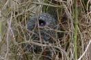 Schwanzmeisen-Nest