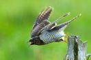 Kuckuck abfliegend (Jungvogel)