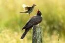 junger Kuckuck  wird von Wiesenpieper gefüttert