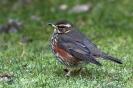 Rotdrossel  -ein Wintergast-