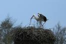 Weißstorch, Landung auf dem Nest